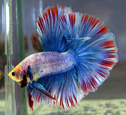Betta fish tail types and patterns live tropical fish for Halfmoon betta fish